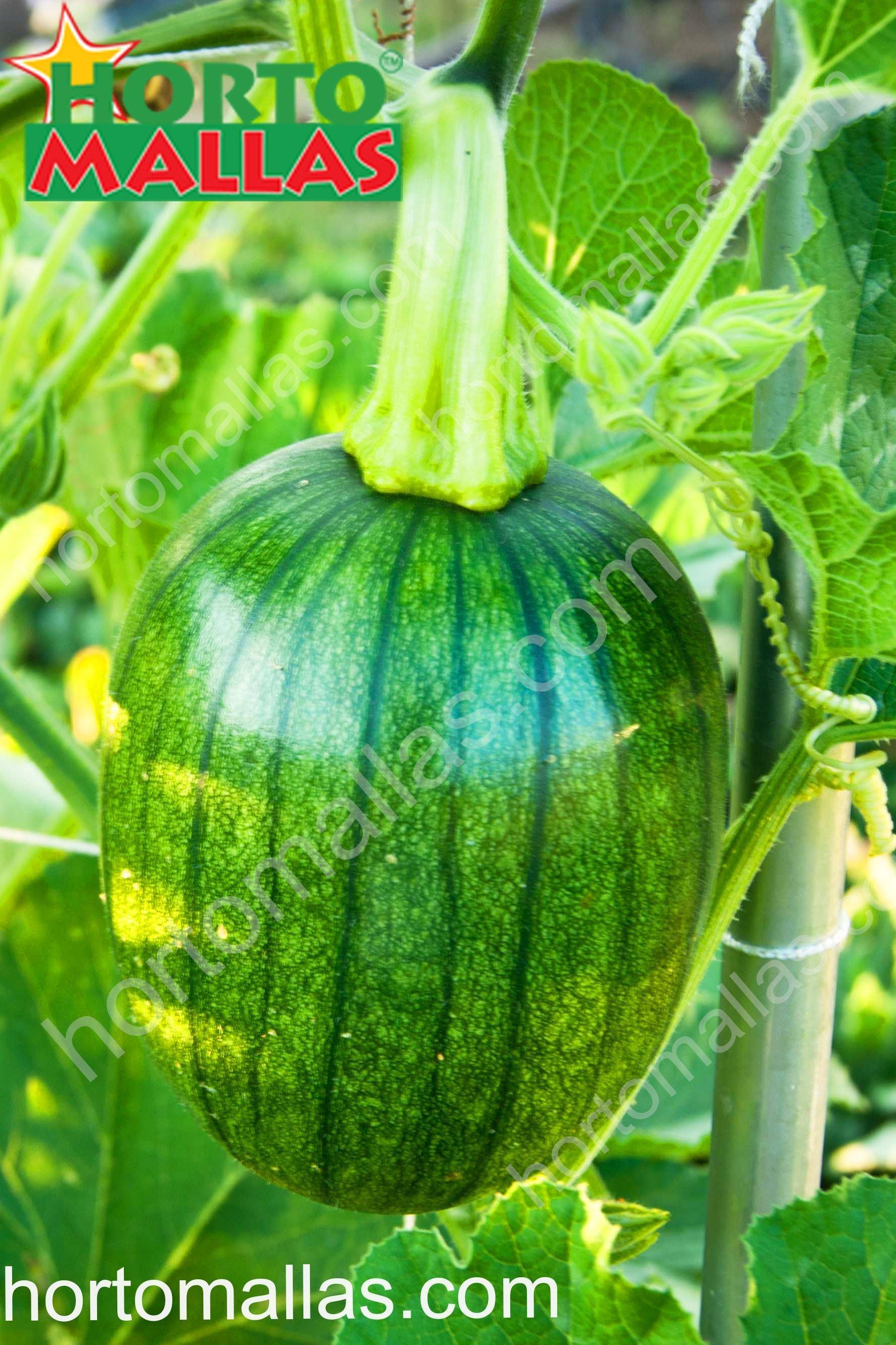 Evite perdas de seu cultivo de melancia com a malha/rede treliça HORTOMALLAS