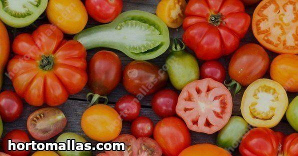 Um fato curioso é que cada tipo de tomate tem seu tempo de colheita.