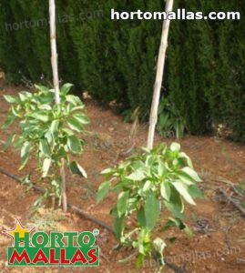 tomato plants using stakes and clips