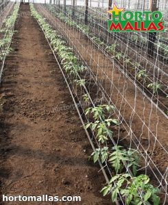 tomato plant using hortomallas meshes