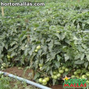 tomato plant in cropfiled using hortomallas support net
