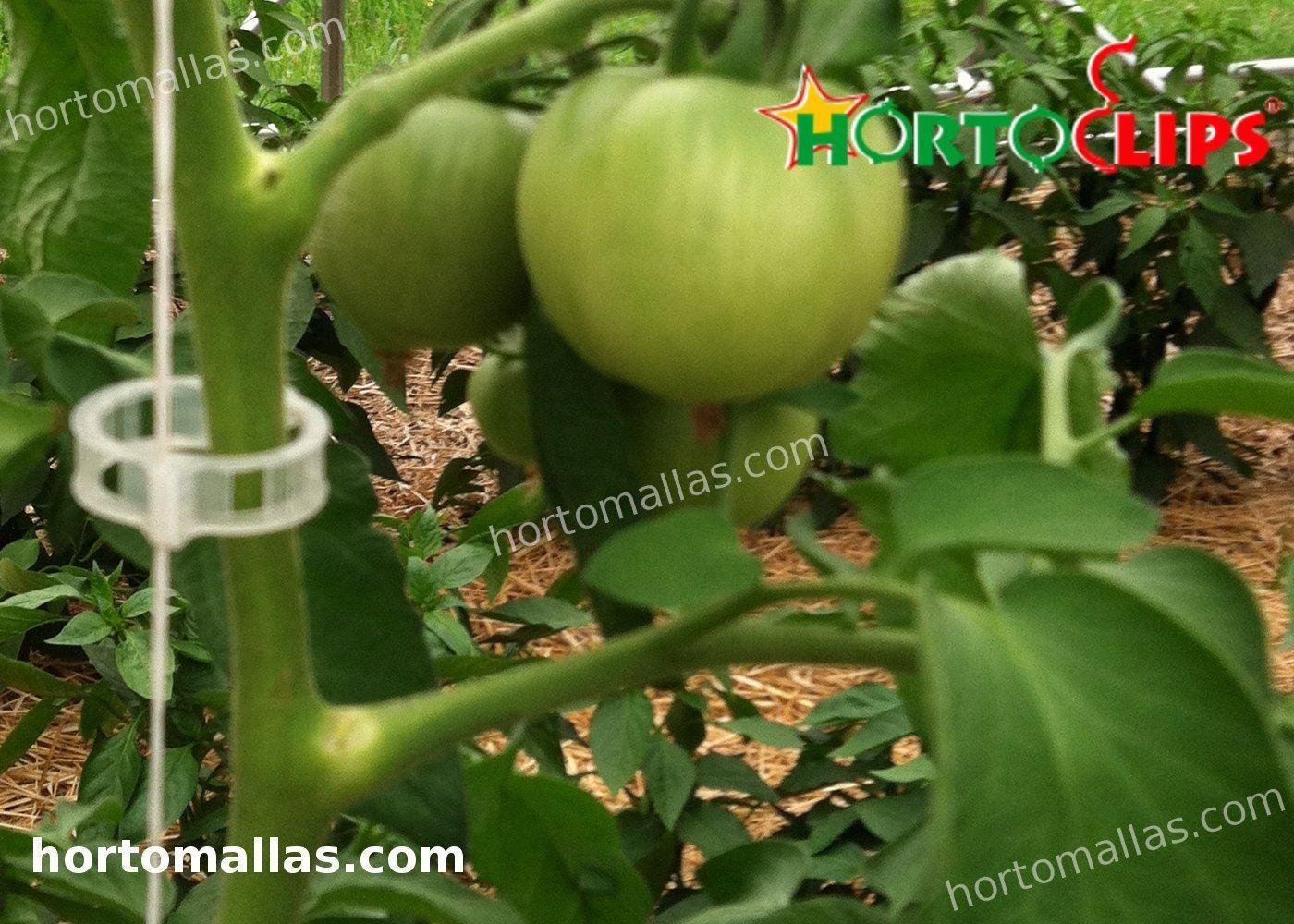 cultivo de tomate usando clip de soporte