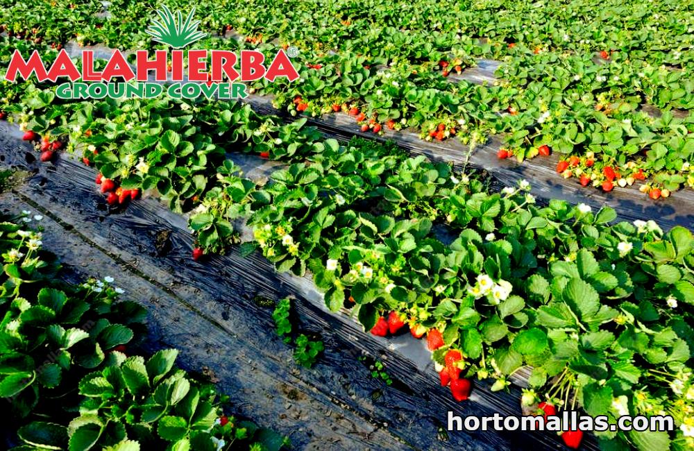 excelente calidad del cultivo de fresa gracias a ground cover