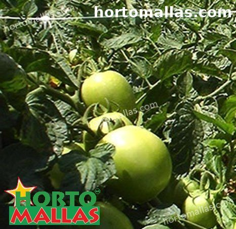 piante di pomodoro che utilizzano la rete di supporto nel campo di coltura