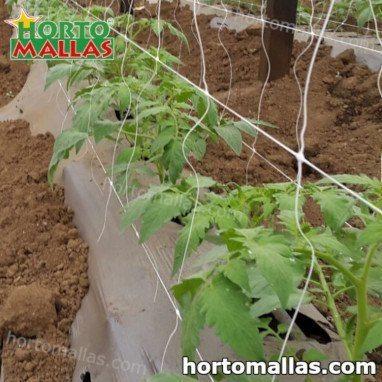 Cultivo de Berinjela em estufa com malha para tutoramento