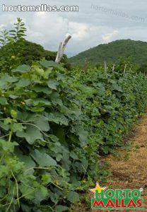 colture che utilizzano la rete di supporto nel campo di coltura