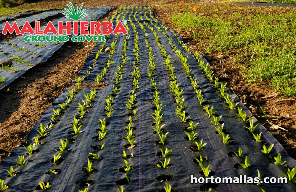 cultivos con protección de ground-cover.