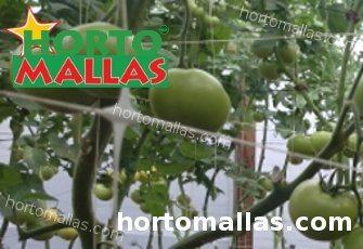 colture di pomodoro con rete di supporto HORTOMALLAS