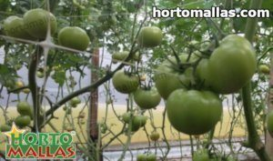 Tomato crops tutoting by HORTOMALLAS® support net