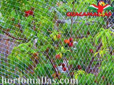 Árvore frutífera com protecção da rede anti-pássaros