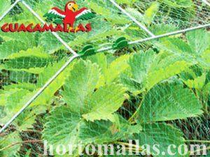 GUACAMALLAS en cultivo