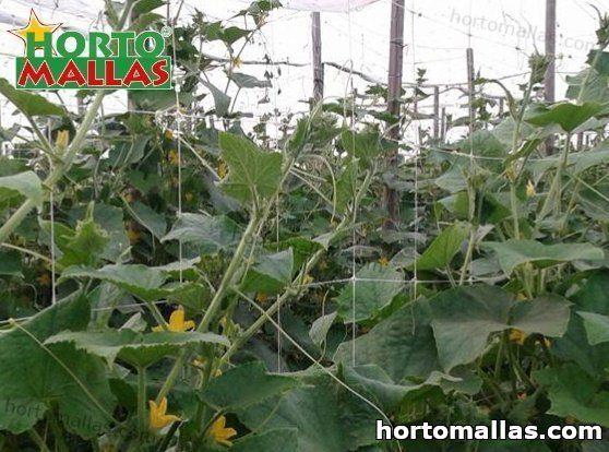 Cómo cultivar pepinos y otras curcubitáceas