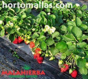 fresas con groundcover