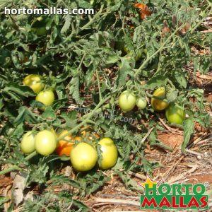 cultivo de tomate en suelo