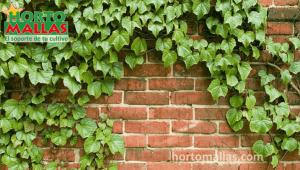 En la imagen se observa un una planta trepadora adornando una pared.