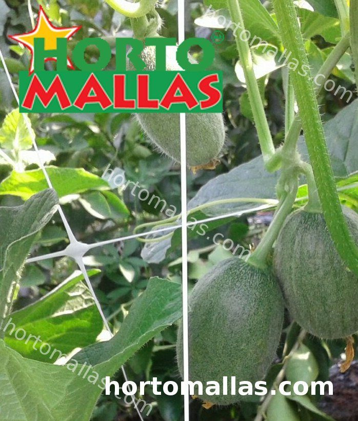 zuchinni crops tutoring by hortomallas espalier net