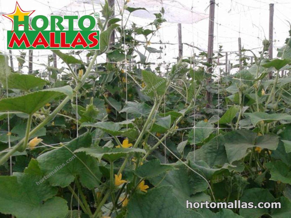 Cómo cultivar pepinos y otras cucurbitáceas.