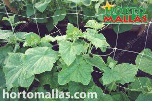 Cucumbers of a squash trellis