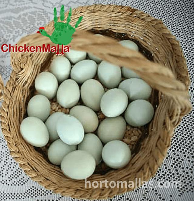Tipos de gallineros y uso de la Malla Gallinera para crear el tuyo.