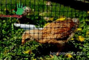 En la imagen se observa el uso de Malla gallinera para armar un gallinero