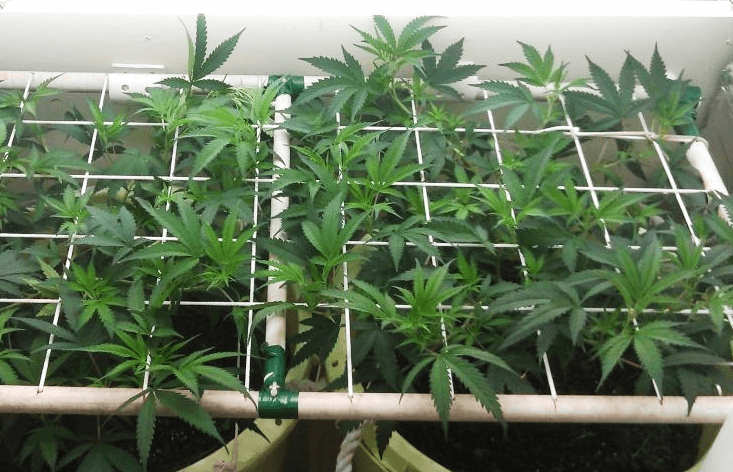scrog method used in crops with mallajuana mesh