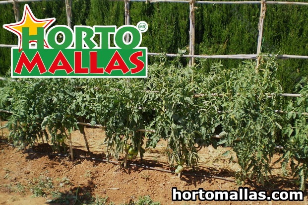 WHICH IS THE BEST WAY OF STAKING TOMATOES TO INCREASE PRODUCTION?