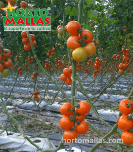 En la imagen se observa un cultivo de jitomate con un sistema de tutoreo.