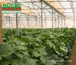 En la imagen se observa un cultivo de pepino con un sistema de tutoreo.