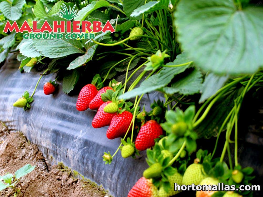 cultivo de fresa protegida con malla ground cover