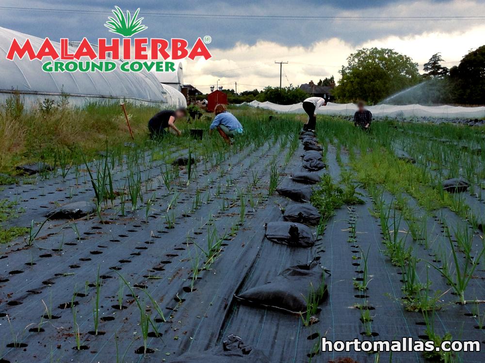 cultivos creciendo con tela ground cover