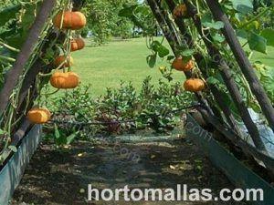 HORTOMALLAS en cultivo de calabaza