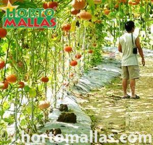 Trellises for squash inside a greenhouse