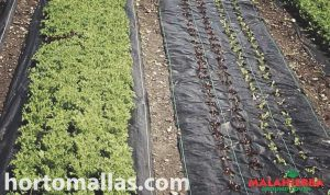 cultivos creciendo con tela ground cover