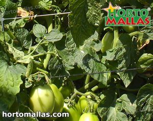 tomato plant tutoring by support system