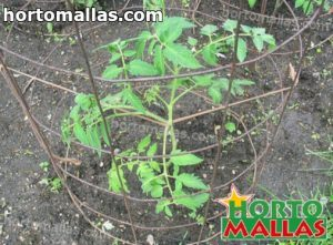 tomato cage system in garden