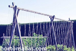 a classical string trellis lof long beans
