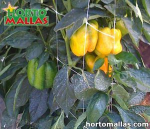 pepper crops using hortomallas support net