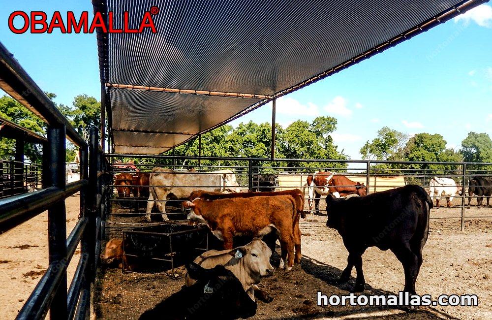 Obamalla shading cattle