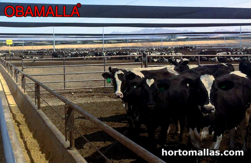 Obamalla protecting cows from the sun