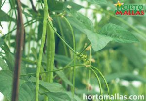 colture di fagioli lunghi