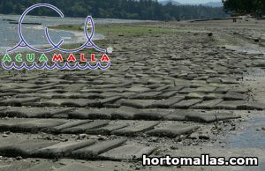 cultivation of oysters