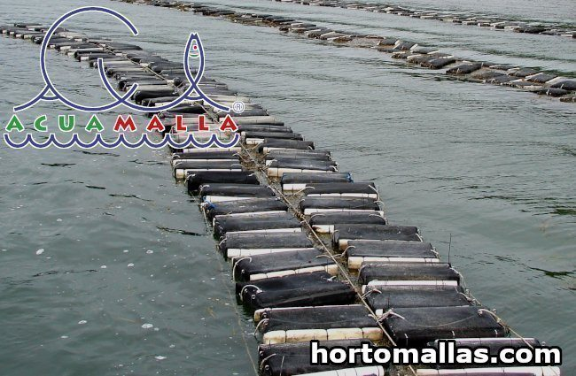 The cultivation of oysters and scallops by the suspension method