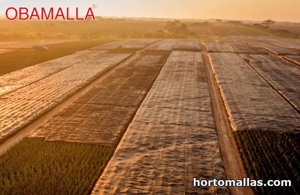 La mejor protección para el cultivo de Piña es la malla de sombreo OBAMALLA.