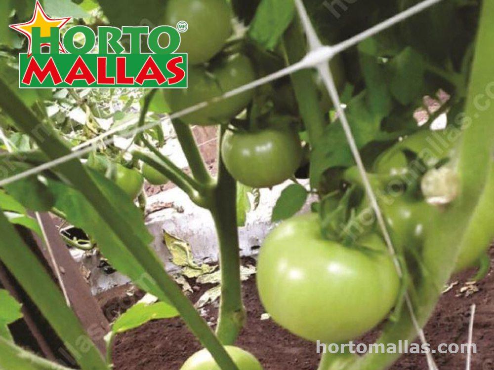 consejos para el Entutorado de tomates por Elizabet