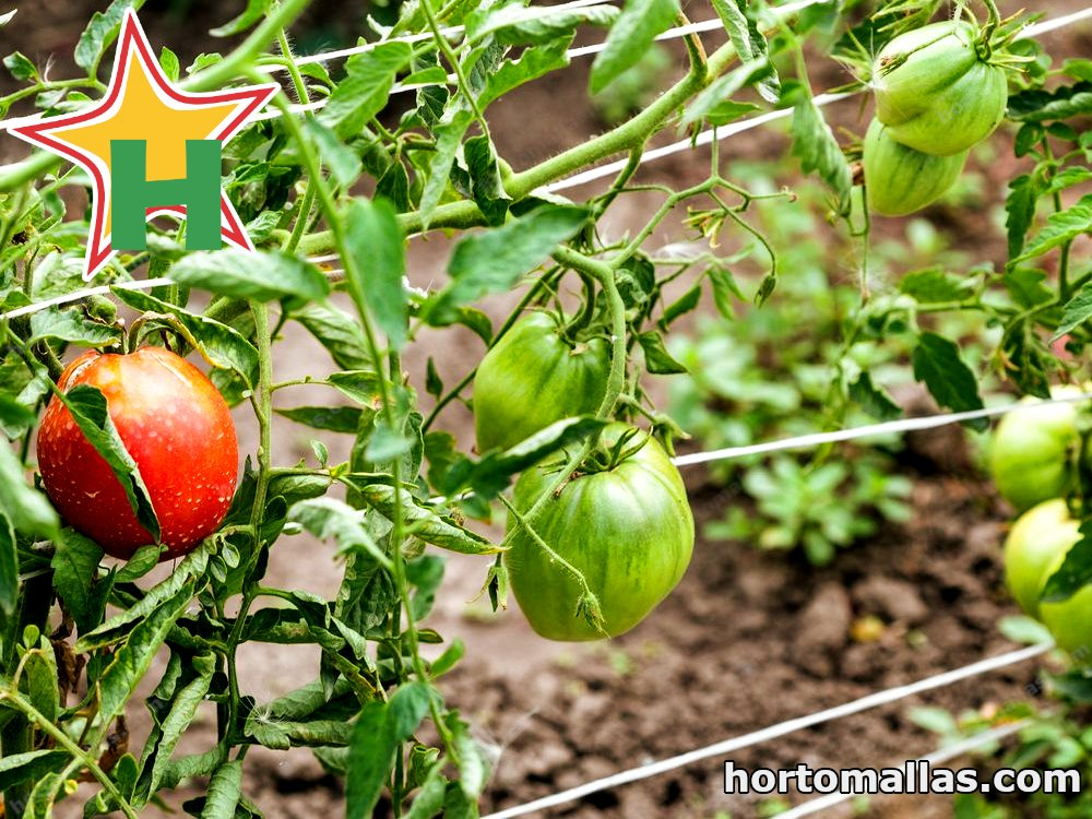 support string on tomato crops