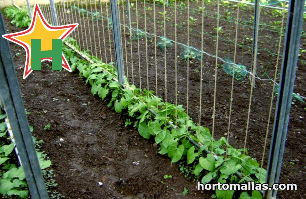 tomato crops with horticulture strings