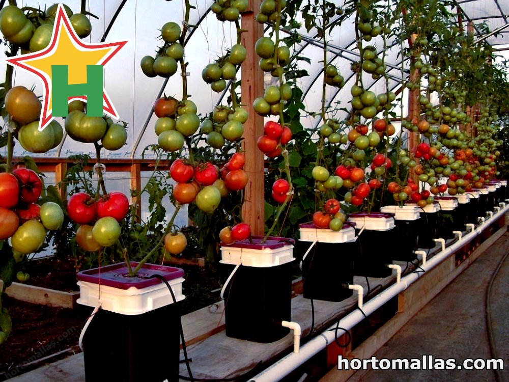 tomatoes ebb and flow method