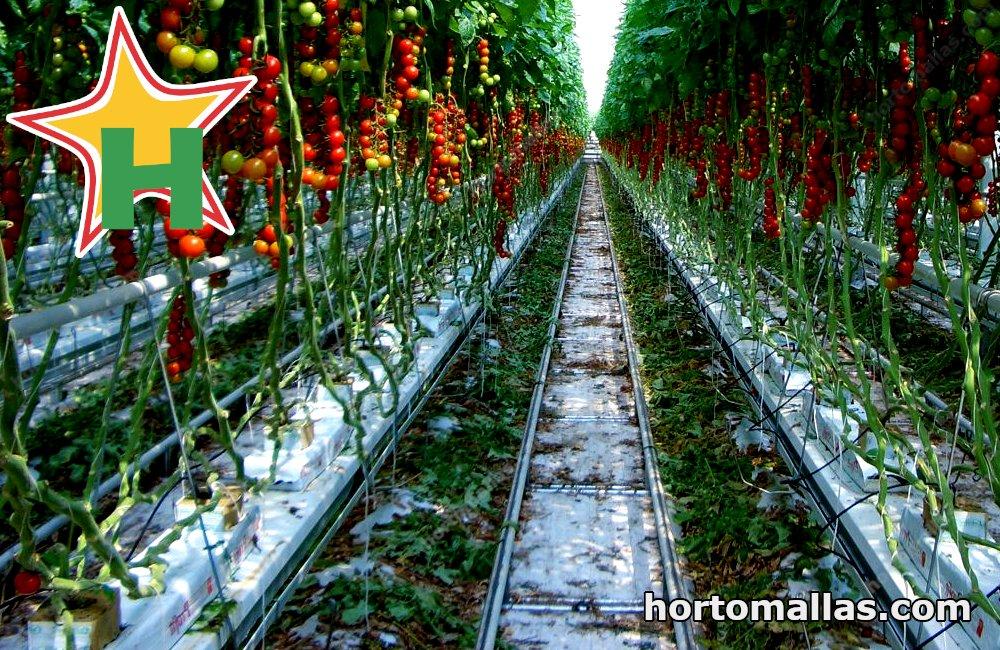 Tomatoes hydroponic method