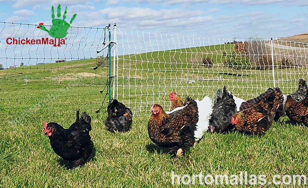 pollo al aire libre