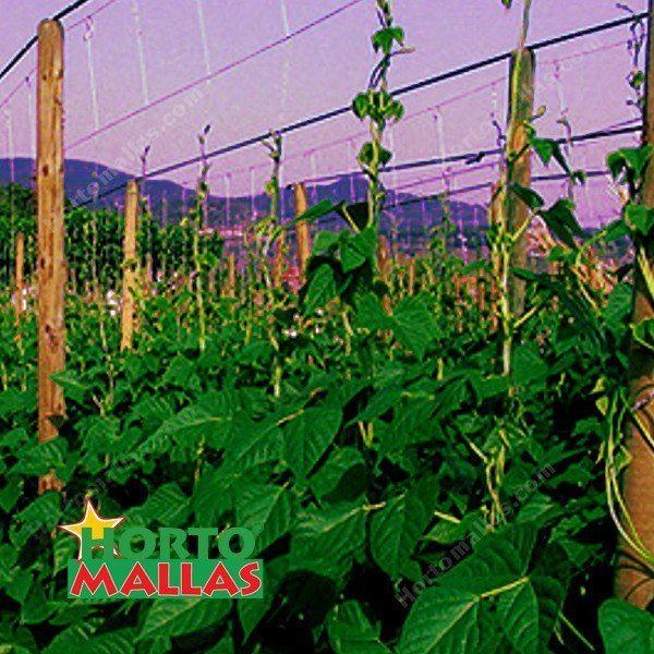 hortalizas en campo abierto con malla para entutorar guisantes.